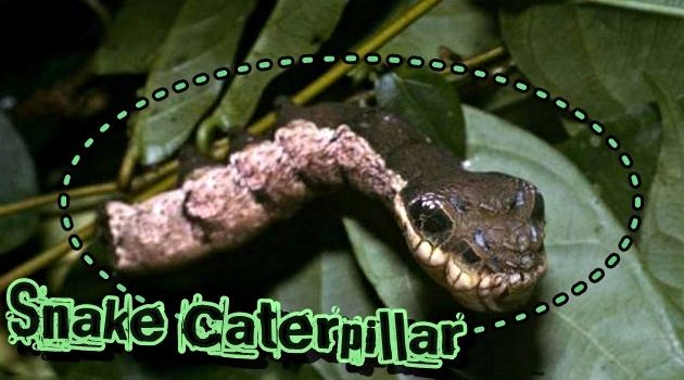 コスタリカで発見されたヘビの頭のように見えるキャタピラー