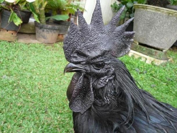 all-black-chicken-2