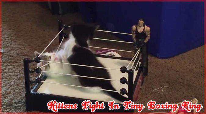 2匹の子猫がボクシングリングで戦うゆる~いニャんニャん動画!