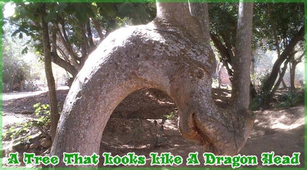 ドラゴンの頭の形をした神々しい木がモロッコで発見された!