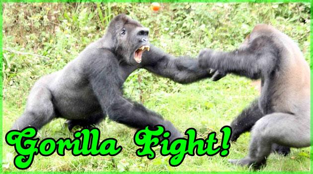 一つのトマトを掛けた4匹のゴリラの喧嘩がド迫力過ぎる
