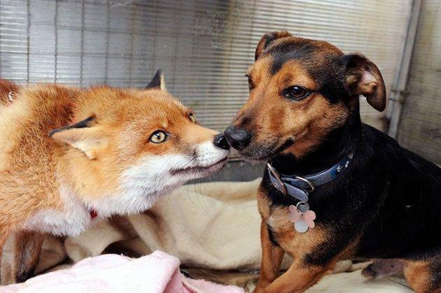 友達は犬と人間!?自分を犬だと思い込んでいるキツネさん!