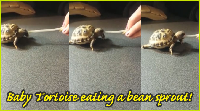 もやしを食べる可愛らしいベイビーカメさんの食事映像が面白い!