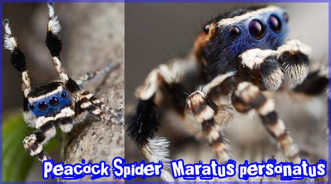 青い仮面を身に付けた新種の蜘蛛を発見された!求愛ダンスが可愛い!
