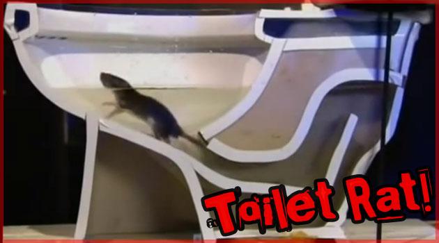 トイレの排水管から侵入するネズミの姿をとらえた映像