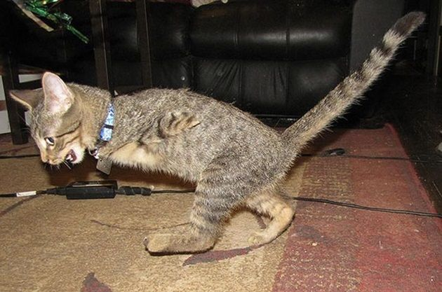 ティラノサウルスのようにノコノコ歩く。前脚を失った二足歩行の子猫