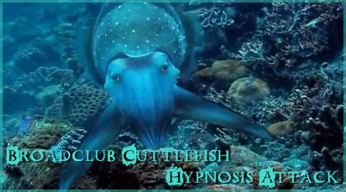 体色を変化して獲物を催眠術にかけるコブシメの捕食映像!