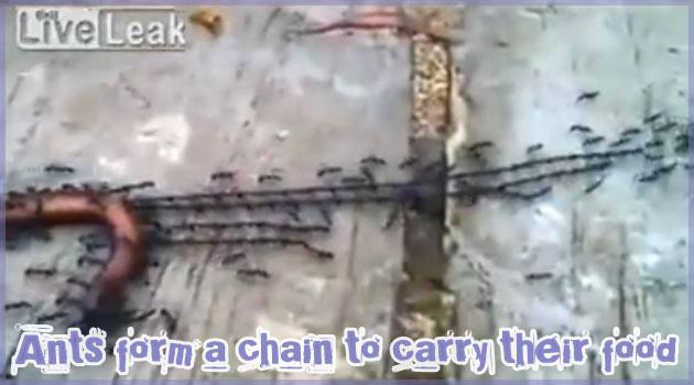 死んだヤスデを賢い方法で運ぶアリさんたちの動画!