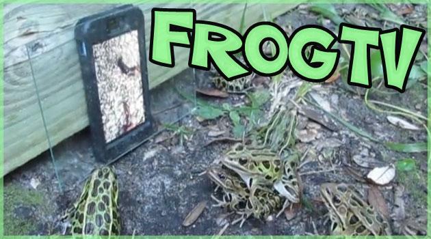 ミミズの映像をスマートフォンで見せたときのカエルの反応