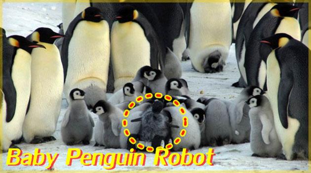 皇帝ペンギンの群れにペンギンロボットを紛れ込ませた調査映像