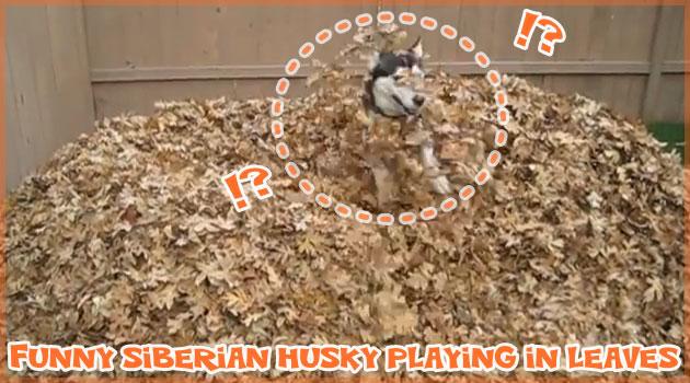 落ち葉と戯れるシベリアン・ハスキーの無邪気な姿に心が和む!