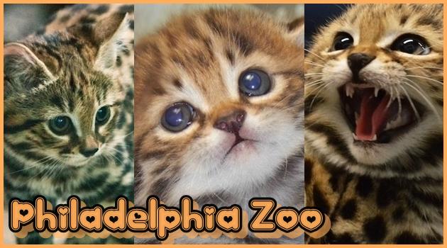 フィラデルフィア動物園の信じられないほど可愛らしい子猫!