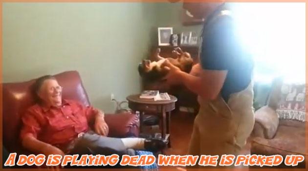 孫を嫌うおじいちゃんのチワワ!抱きかかえられると死んだ振り!