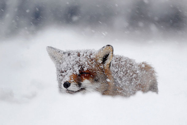 amazing-fox-photos-7