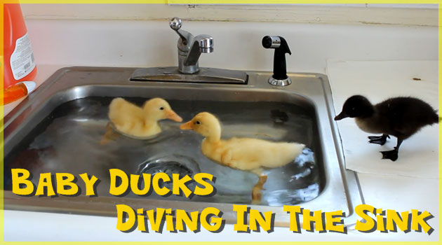 キッチンシンクの中で泳ぐ可愛らしいアヒルの赤ちゃん