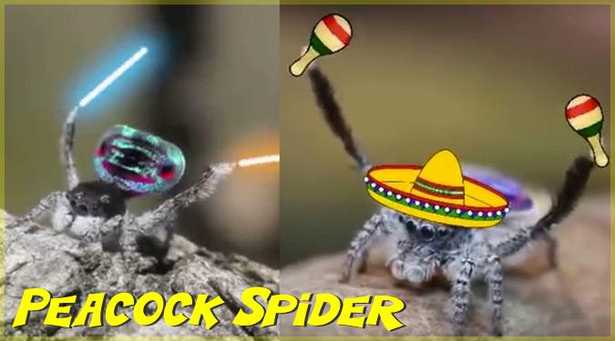 ピーコックスパイダーの求愛ダンスを加工したユニークな動画!