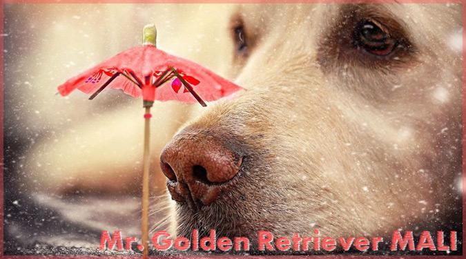 ゴールデンレトリバーのお鼻を撮影した美しい写真集