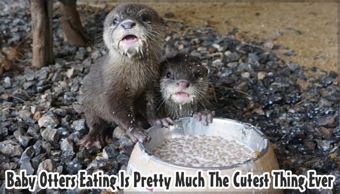 カワウソの赤ちゃんの食事映像が可愛すぎると話題に!