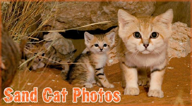 砂漠地帯に生息するネコ界のピーターパン!小さくて可愛いスナネコ!