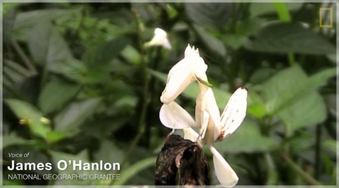 ランの花に見える美しき殺し屋!ハナカマキリの狩りの映像!