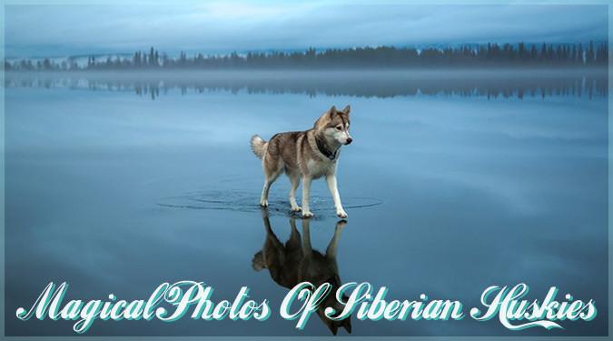 氷結した湖の上を歩くシベリアンハスキーの幻想的な写真
