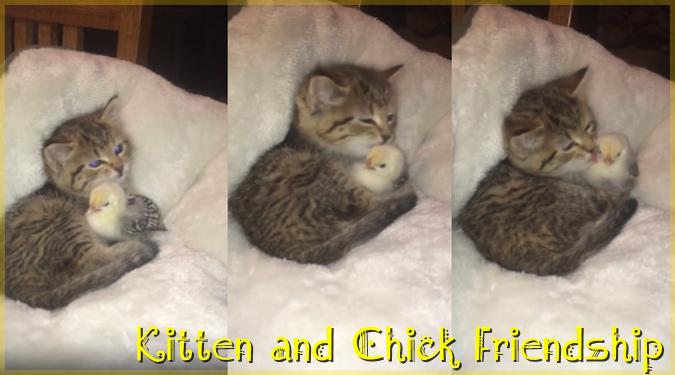 子猫がひよこを抱きしめてペロペロ・スリスリする癒し系動画!