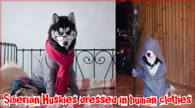 シベリアン・ハスキーに人間の服を着せた可愛らしい写真集!
