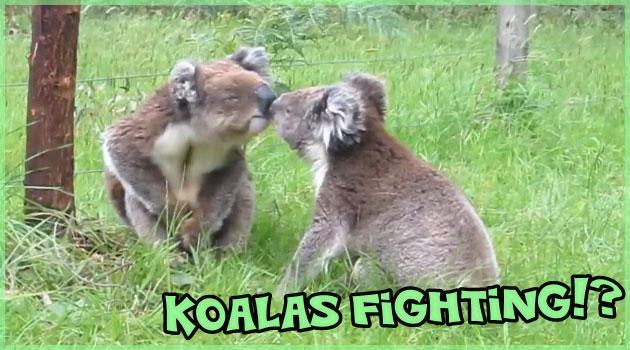 可愛い鳴き声で取っ組み合う2匹のコアラに和んでしまう