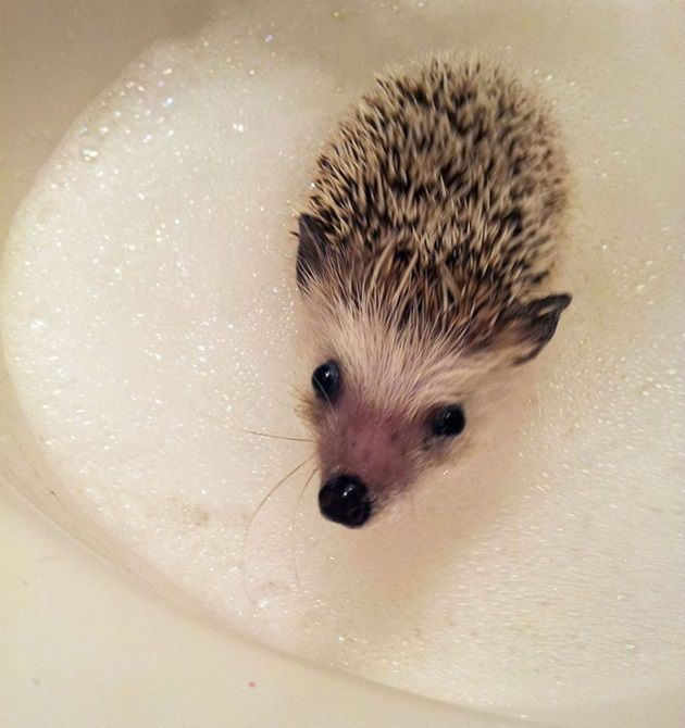 tooth_hedgehog_10