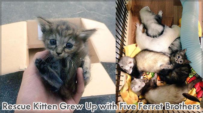沢山のフェレットたちと一緒に生活する子猫のKomariちゃん!