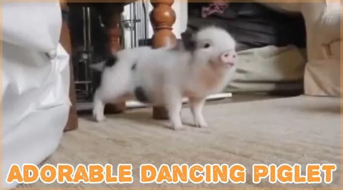 リアーナの音楽に合わせて踊ろうとする子豚さんのキュートな動画!