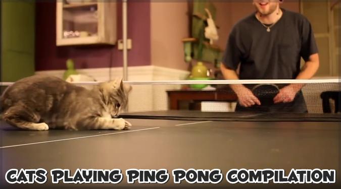 卓球のピンポン玉を追いかける猫ちゃんのコンピレーション映像