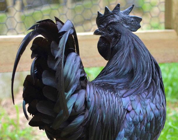 all-black-chicken-4