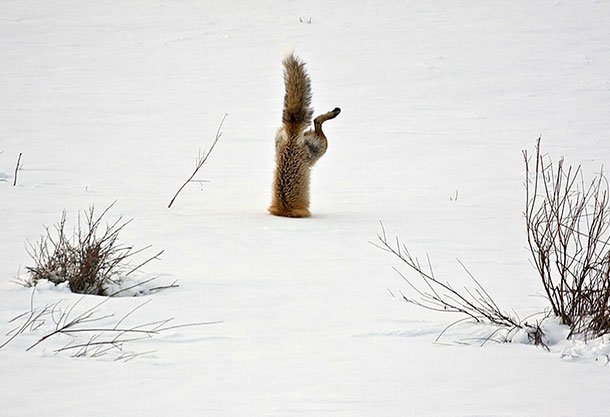 amazing-fox-photos-28