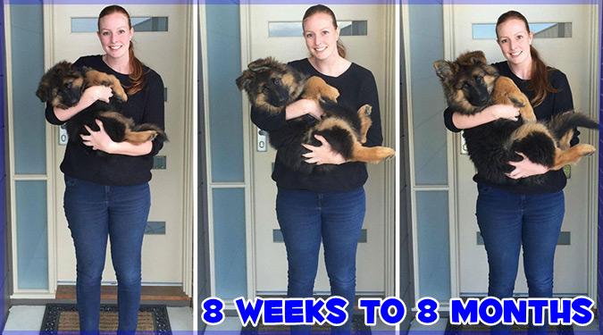 生後8週間の子犬の成長記録!8ヶ月で飼い主さんよりも大きくなりました!